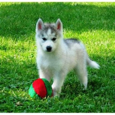 husky puppies for sale in ri well trained siberian husky puppies for sale west warwick ri asnclassifieds