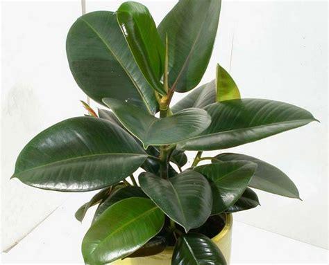 Tanaman Hias Karet Hias tanaman beringin karet rubber fig bibitbunga