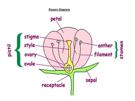flower diagram flower diagram 28 images flower diagram pictures to