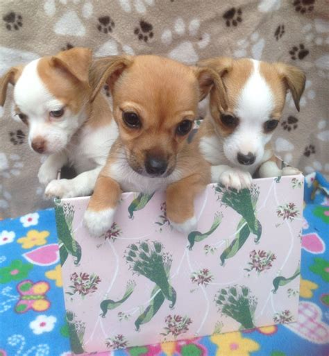 jackhuahua puppies litter of f1 jackhuahua puppies orpington kent pets4homes