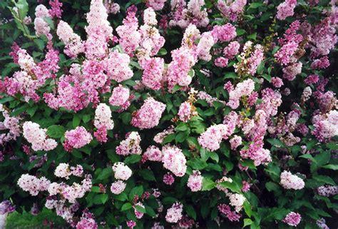 Millcreek Nursery Ltd by Donald Wyman Lilac Syringa X Prestoniae Donald Wyman