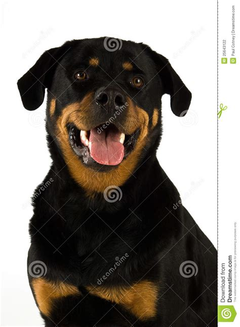 dogs similar to rottweiler rottweiler stock photography image 25643122