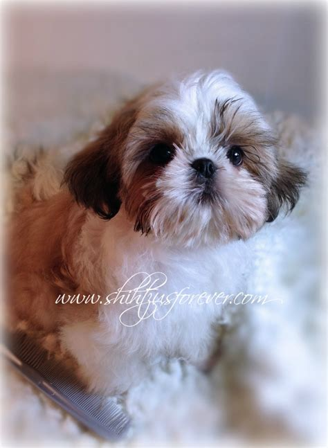 miniature imperial shih tzu imperial shih tzu puppy for sale tiny shih tzu breeds picture