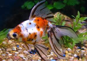 Fancy Goldfish   Life of Sea