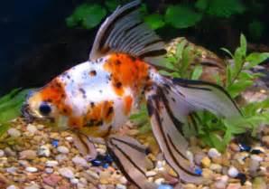 Fancy Goldfish   Life of Sea