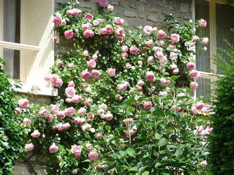when to plant climbing roses tips for growing climbing roses arbor hill trees omaha