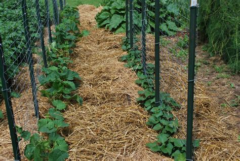 molly s kitchen garden mulching