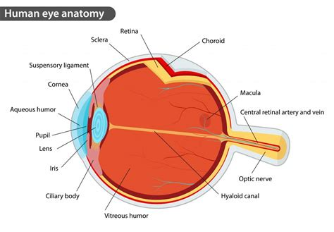 a diagram of a eye eye diagram retina images how to guide and refrence