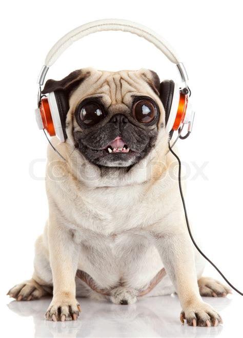 big eyed pug listening to pug with big isolated on white background stock