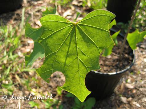 Cigar Nest Green leaf cutter bees ne florida s bees