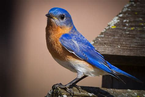 feather tailed stories eastern bluebird