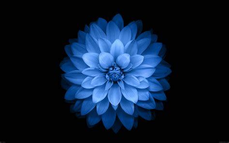 apple iphone 6 blue lotus flower hd desktop wallpaper