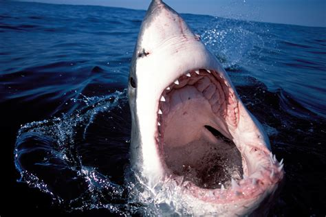 great white shark attack cape cod great white sharks are swarming cape cod and it s the