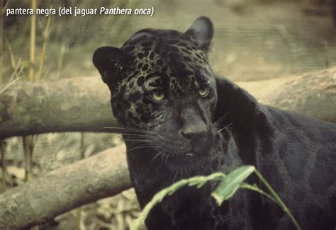 Imágenes Jaguar Negro | enciclopedia animal animales de la selva pantera negra