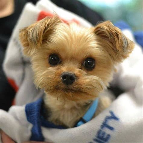 beautiful yorkies 276 best images about sweet beautiful puppies and dogs on puppys