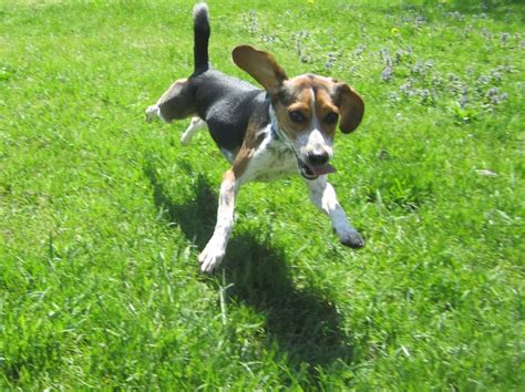 bluetick beagle puppies best 20 blue tick beagle ideas on beagle puppy bluetick coonhound and