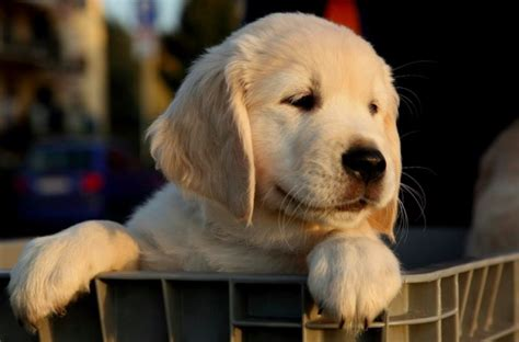 how to keep a golden puppy away from the xmas tree 9 reasons golden retrievers are so lovable