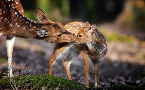 wallpaper  px baby animals deer nature