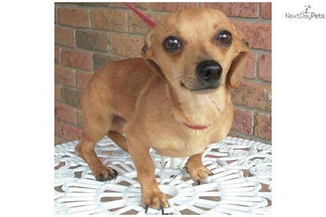 chiweenie puppies dachshund mini puppy for adoption near 63b327a2 71c2
