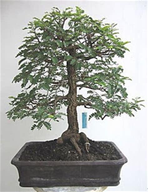 Bakalan Bonsai Asam Jawa alamwahong bonsai asem