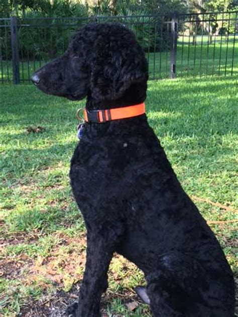 black poodle lifespan black standard poodle images photo