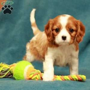 king charles cavalier puppies ohio cavalier king charles spaniel puppies for sale greenfield puppies