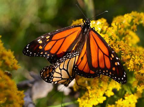 monarch butterfly monarch butterfly goodmorninggloucester