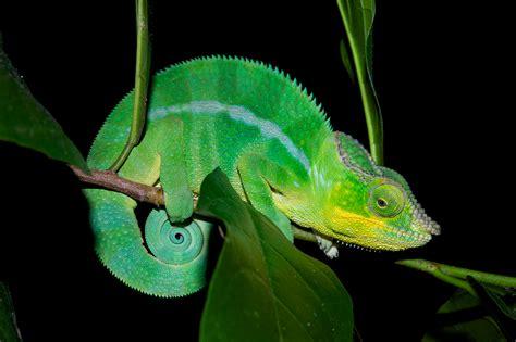 color changing chameleon chameleons use built in crystals to change color