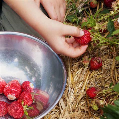 wann pflanzt erdbeeren pflanzen die wichtigsten tipps ananas erdbeere