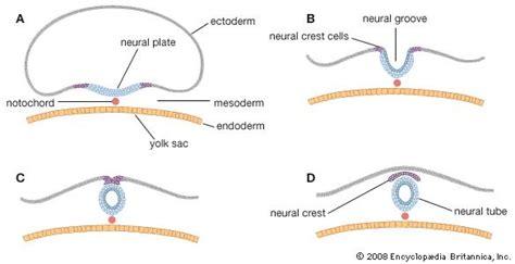 pattern formation of neural tube prenatal development physiology britannica com