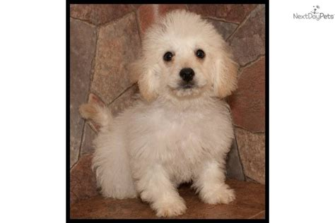 Gbl Custom Home Design Inc Maltipoo Puppies Maltipoo Puppy Care Pictures Clips