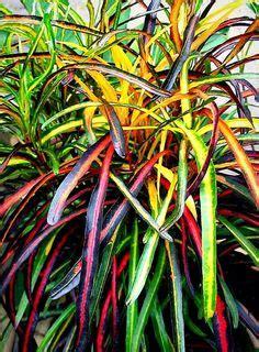 images  plantes crotons  pinterest
