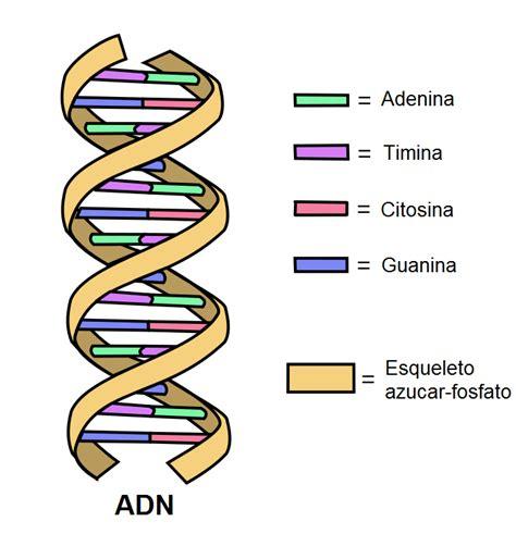 son cadenas de adn adn historia funciones estructura componentes lifeder