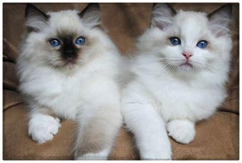 imagenes gatitos hermosos imagenes de gatos hermosos y tiernos archivos gatitos
