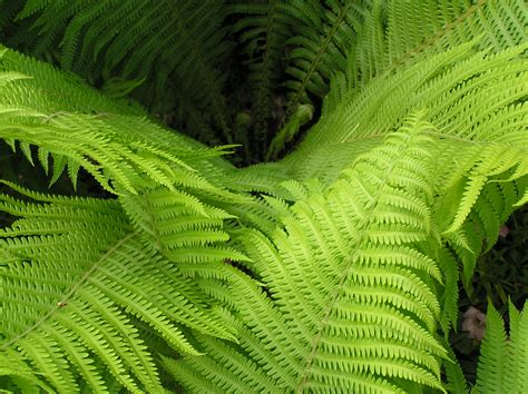 plant divisions ferns and horsetails tentative plant scientist