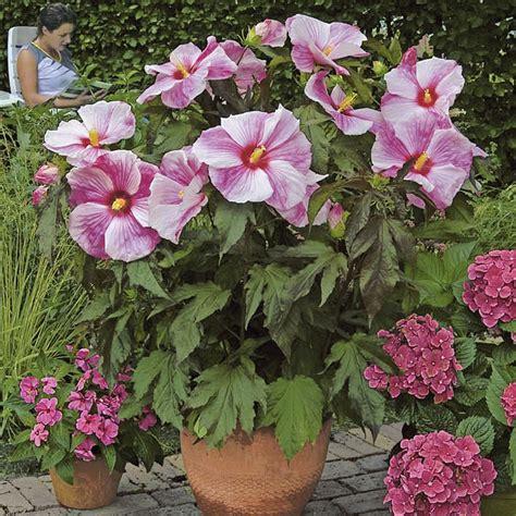 hibiskus zimmerpflanze kaufen riesen stauden hibiskus kopper king kaufen bei