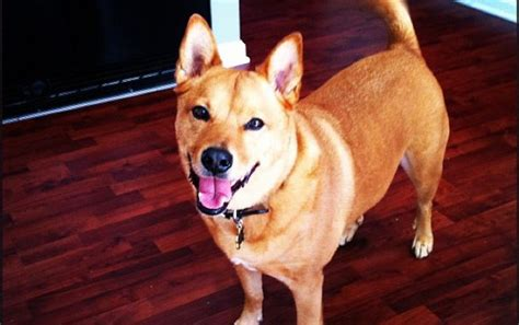 shiba inu rottweiler mix this list of top 10 most tolerant breeds may your mind