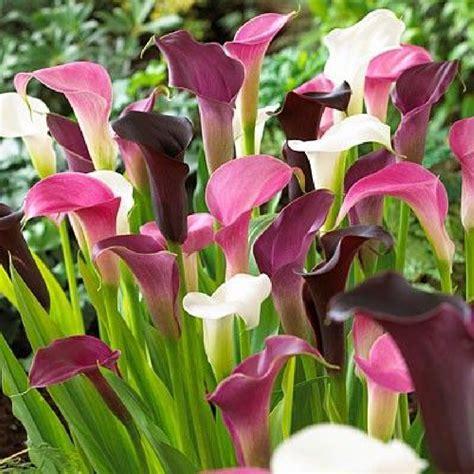 calla lily bulbs quot pastel mix quot