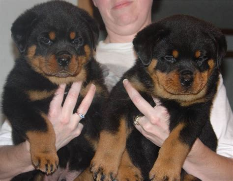 9 month rottweiler pictures pictures of rottweilers we sold