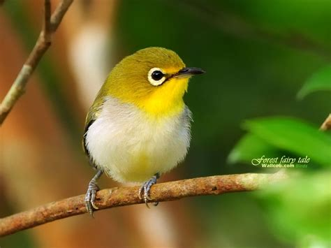 cute little yellow bird okay wallpaper