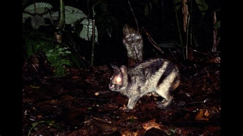 elusive sumatran rabbit caught  film youtube