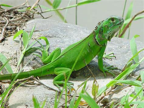 imagenes de iguanas rojas manual de cuidado para iguanas taringa