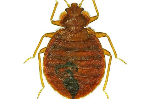 bed bug heat treatment effective terminix