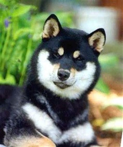 shiba inu puppies wisconsin hi jinx shiba inu kennel wisconsin s shiba inu breeder devoted to the