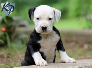 Blue Pitbull Puppies For Sale In Pa » Home Design 2017