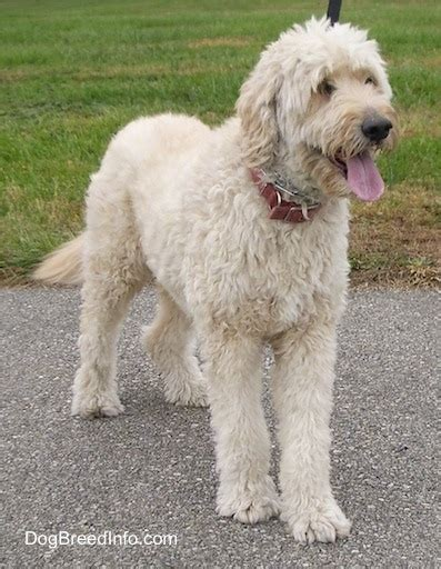 cross between golden retriever and poodle goldendoodle breed information and pictures