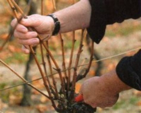 when to cut back a grapevine growing grapes and pruning a how to guide with images and