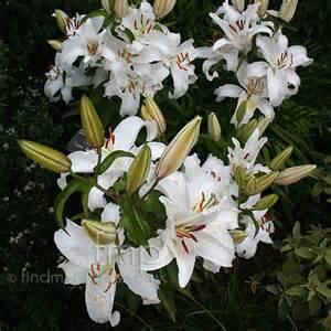 casablanca lilies plant pictures lilium casa blanca