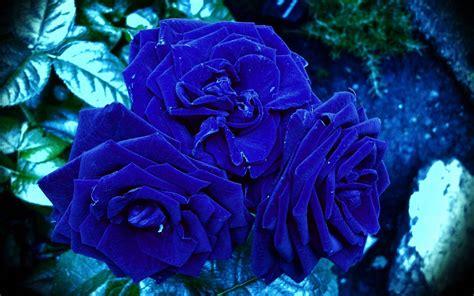 wallpaper flower rose blue awesome blue roses flowers wallpaper 34660642 fanpop