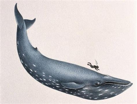 images of a whale 11 facts about blue whales the largest animals known